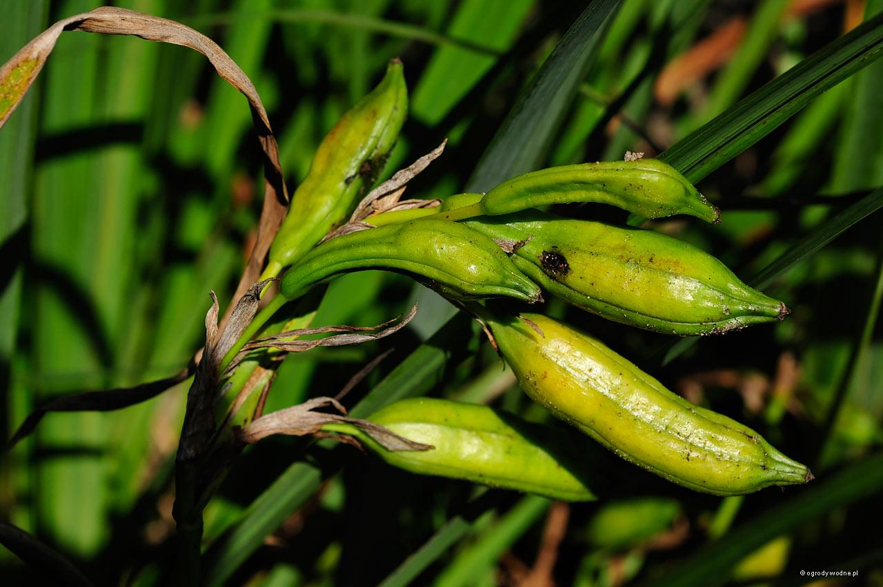 Iris pseudacorus - strąki z nasionami w połowie września