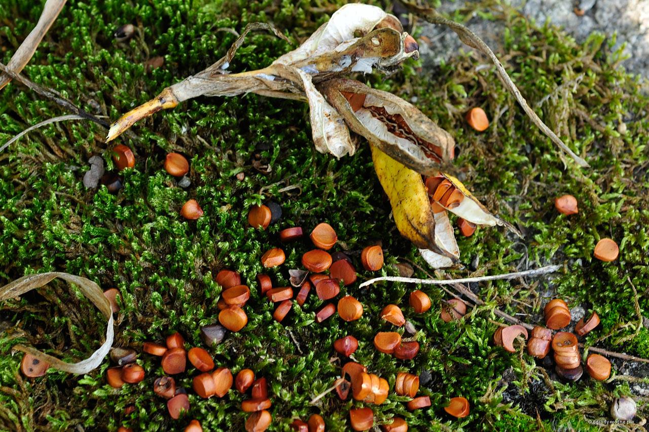 Błyszczące, brązowe nasiona wysypują się jesienią. Poddane działaniu wody i mrozu, rozmiękczone, łatwiej skiełkują wiosną.