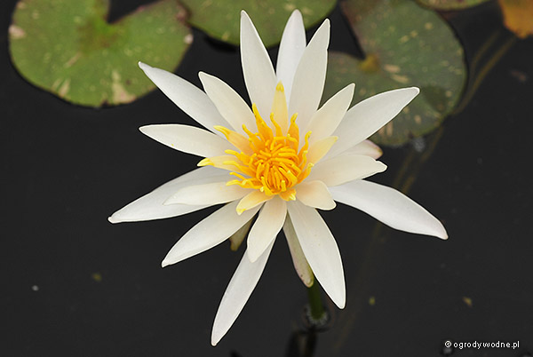 Gwiaździsty kwiat 'Arc-en-Ciel' na tle wody