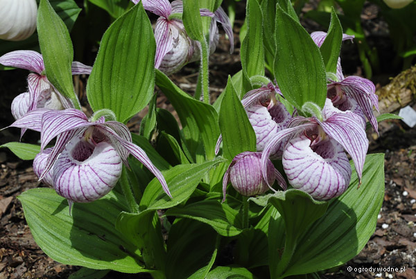 Cypripedium x barbeyi