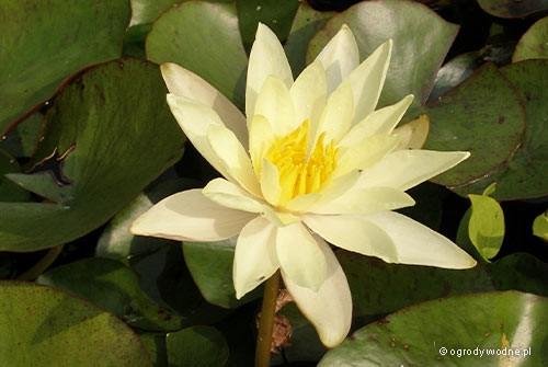"""Nymphaea """"Sulphurea"""", lilia wodna, grzybień"""