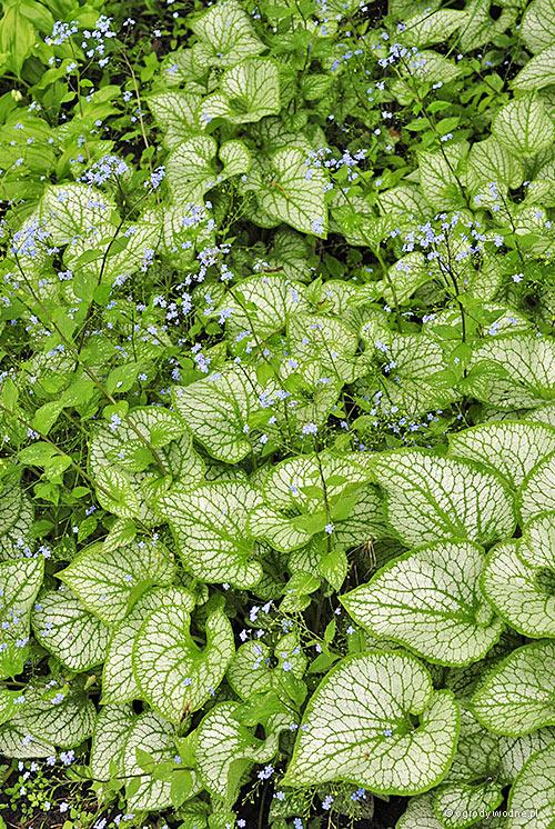 """Brunnera macrophylla """"Jack Frost"""", brunera wielkolistna"""