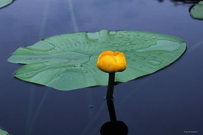 Grążel żółty, kwiat