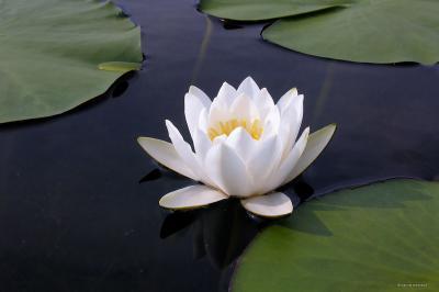Grzybień biały, kwiat