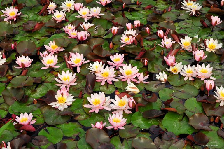 Kwitnące grzybienie, lilie wodne