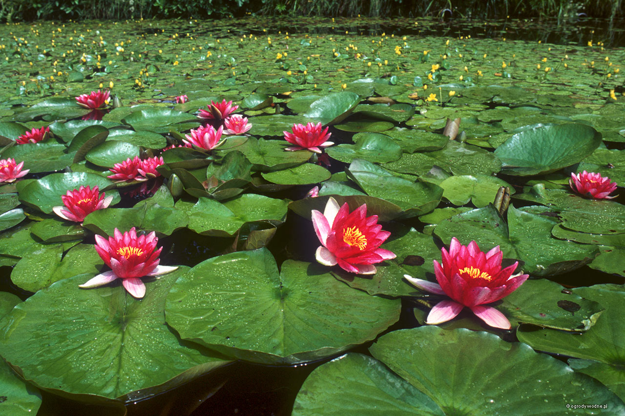 Lilie wodne w stawie, odmiana Attraction