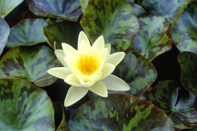 Lilia wodna żółta, grążel, odmiana Marliacea Chromatella