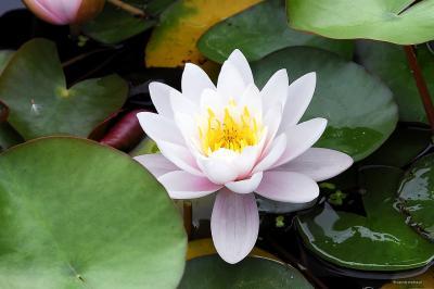 Lilia wodna różowa, grążel odmiana Marliacea Rosea