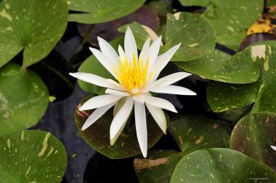 Lilia wodna, kwiat