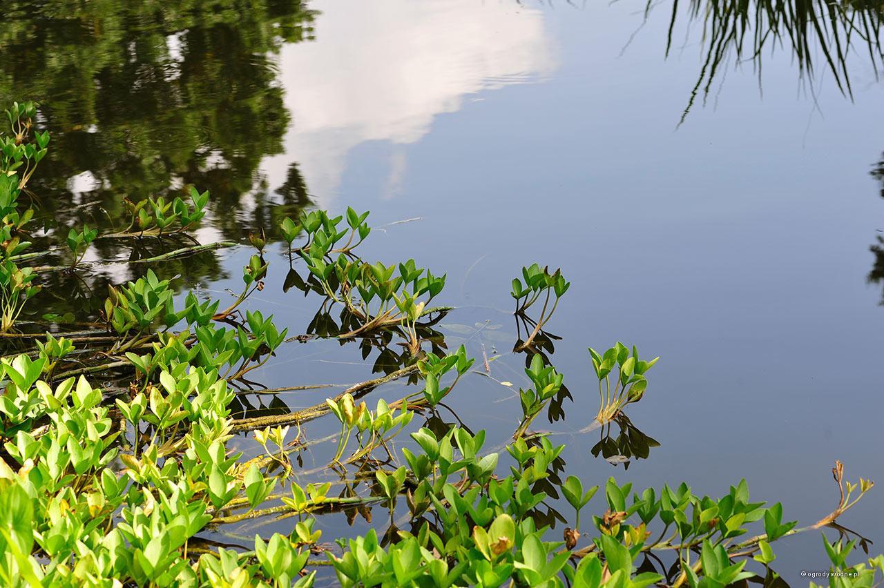 Menyanthes trifoliata, bobrek trójlistkowy, roślina wodna