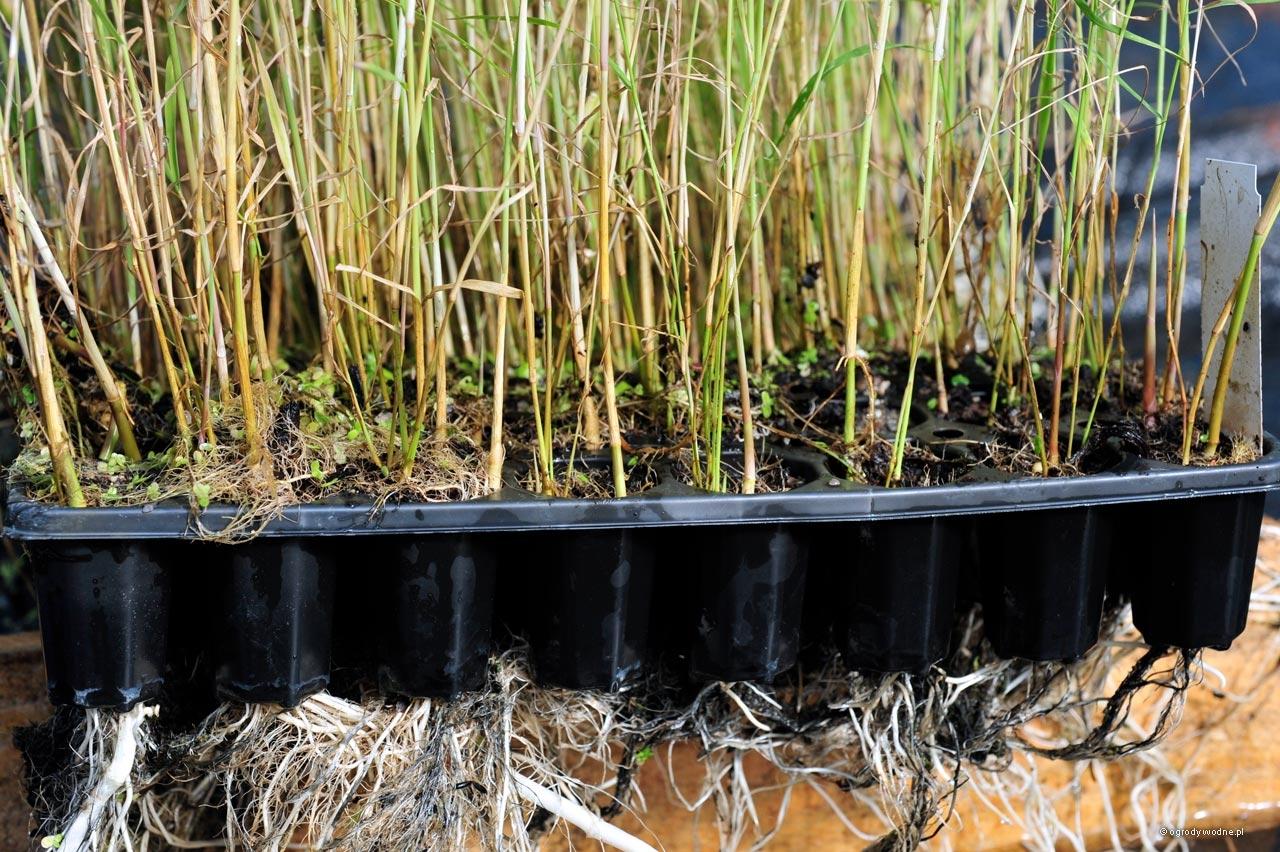 Phragmites australis, trzcina pospolita sadzonki