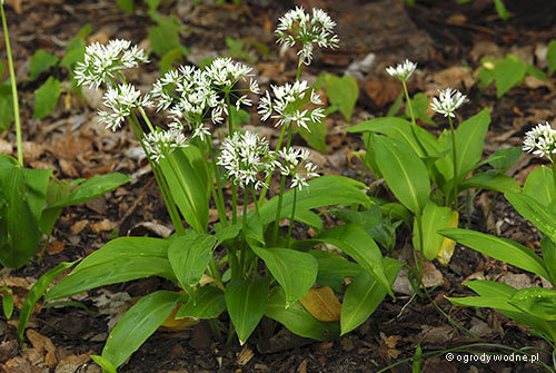 Allium ursinum, czosnek niedźwiedzi