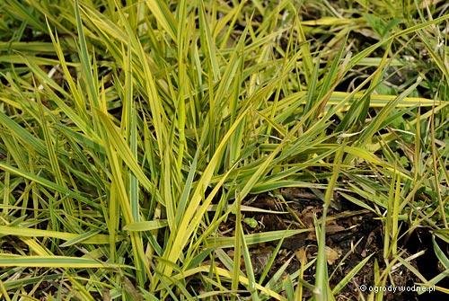 """Alopecurus pratensis """"Aureovariegatus"""", wyczyniec łąkowy"""
