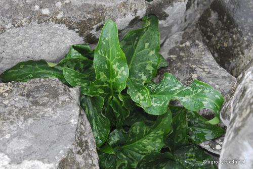 Arum italicum, obrazki włoskie