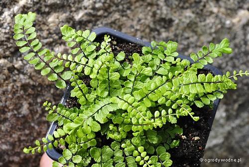 """Asplenium trichomanes """"Cristatum"""", zanokcica skalna"""