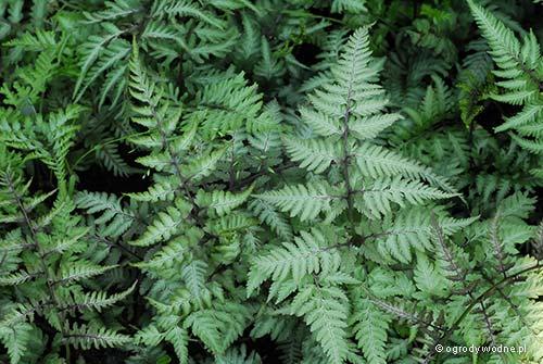 """Athyrium niponicum """"Metallicum Cristatum"""", wietlica japońska"""