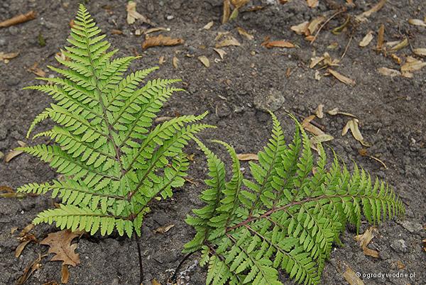 "Athyrium otophorum ""Okanum"", wietlica uszkowata"