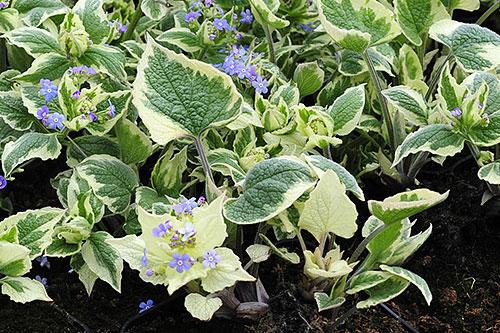 """Brunnera macrophylla """"Dawson's White"""", brunera wielkolistna"""