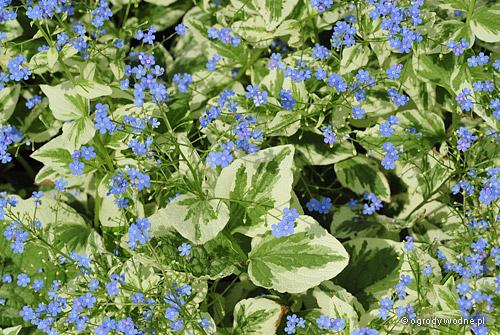 """Brunnera macrophylla """"Variegata"""", brunera wielkolistna pstra"""