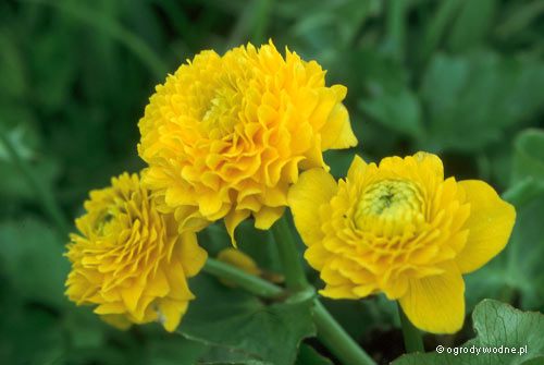 """Caltha palustris """"Multiplex"""", kaczeniec pełnokwiatowy"""