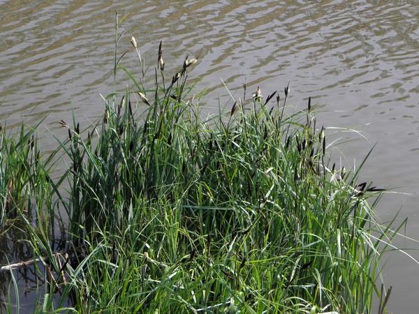 Carex acutiformis, turzyca błotna