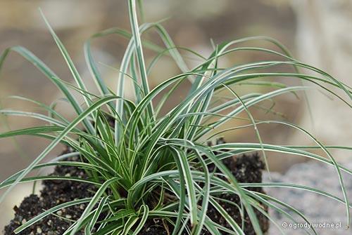 """Carex conica """"Variegata"""", turzyca stożkowata pstrolistna"""