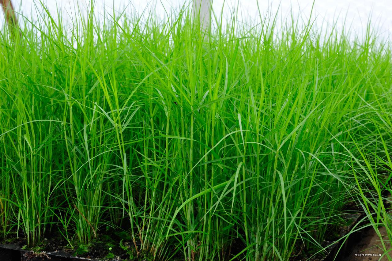 """Carex muskingumensis """"Little Midge"""" , turzyca muskegońska"""