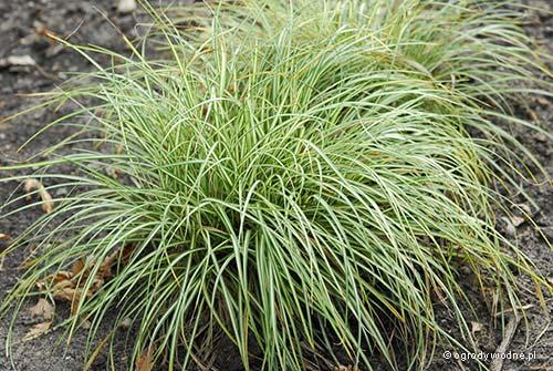 """Carex ornithopoda """"Variegata"""", turzyca ptasie łapki pstra"""