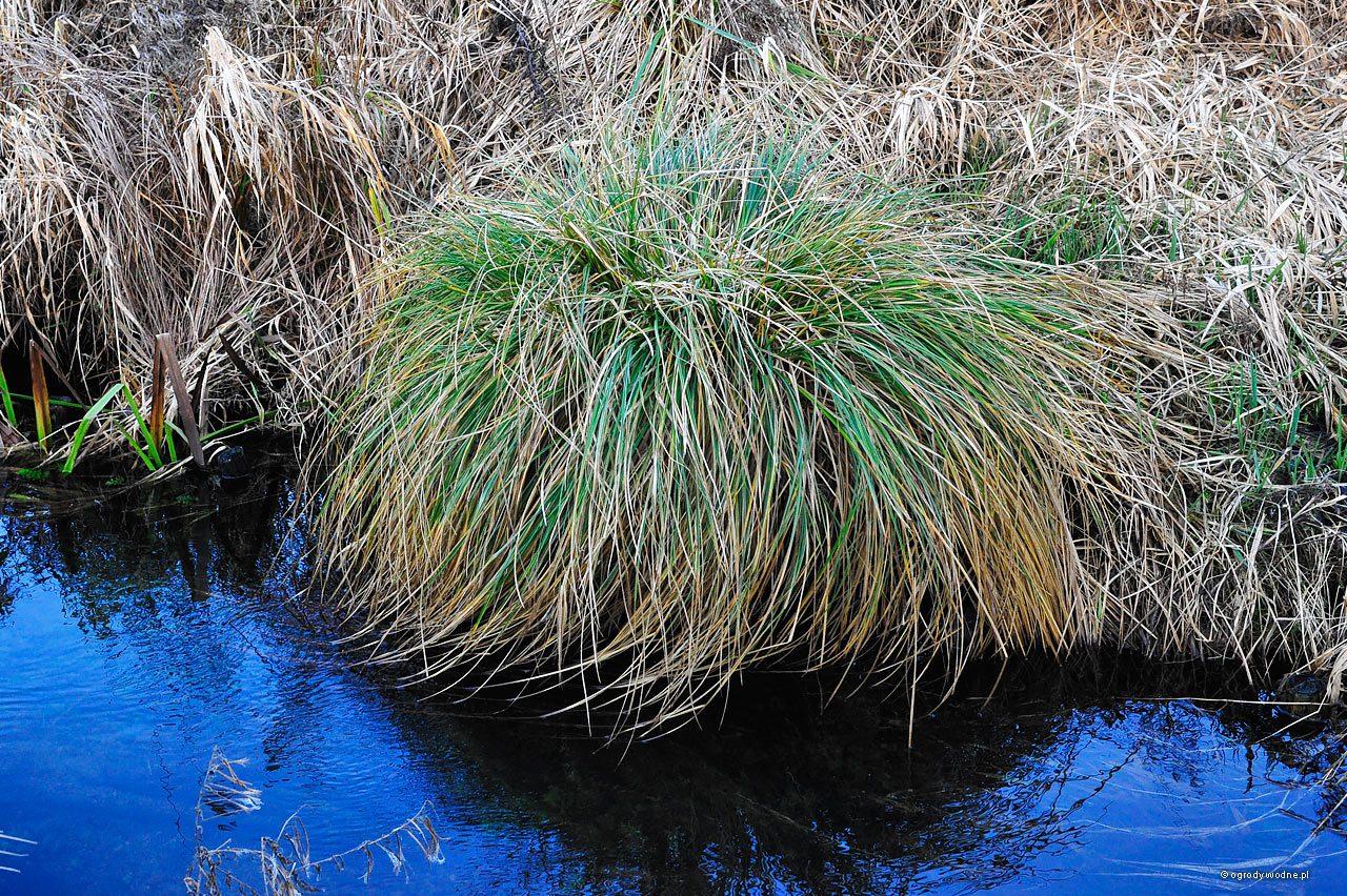 Carex paniculata, turzyca prosowa