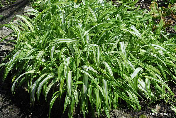 """Carex siderosticha """"Shiro Nakafu"""", turzyca rzędowa"""
