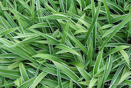 """Carex siderosticha """"Variegata"""", turzyca rzędowa pstra"""