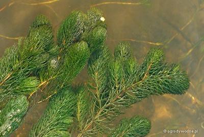 Ceratophyllum demersum, rogatek sztywny