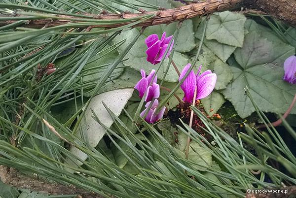 Cyklamen bluszczolistny 'Silver Leaf' okryty gałązkami dla ochrony przed zimowym słońcem.