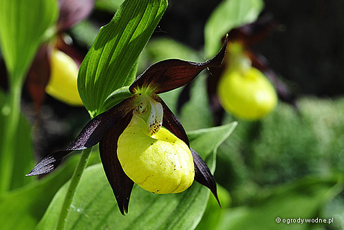 Cypripedium calceolus - Obuwik