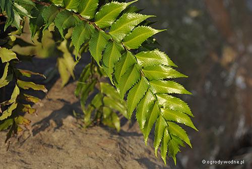 Cyrtomium falcatum, paprotnik sierpowaty