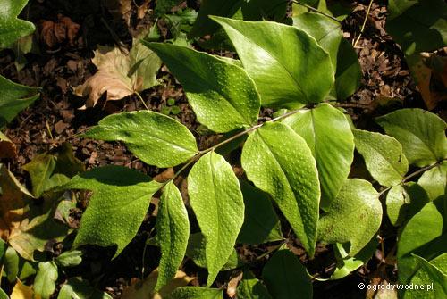 Cyrtomium macrophyllum, cyrtomium wielkolistne