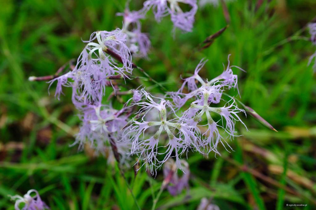 Dianthus superbus, goździk pyszny