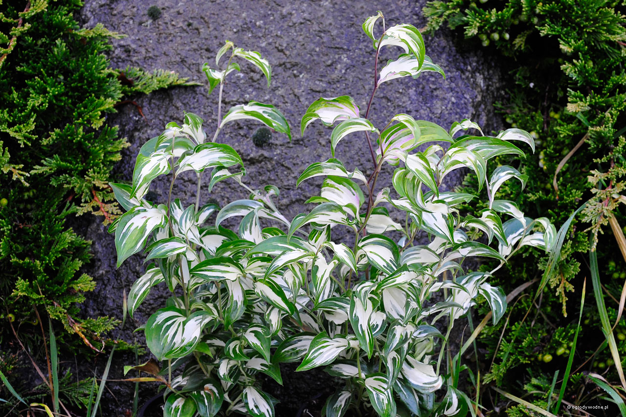 "Disporum cantoniense ""Moonlight"", parnik"