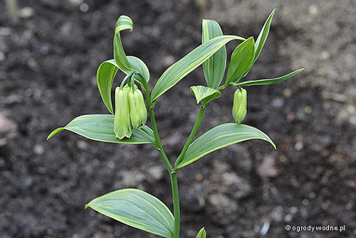 "Disporum sessile ""Yellow Margin"", disporum"