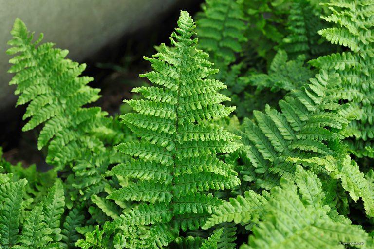 """Dryopteris affinis """"Crispa"""""""