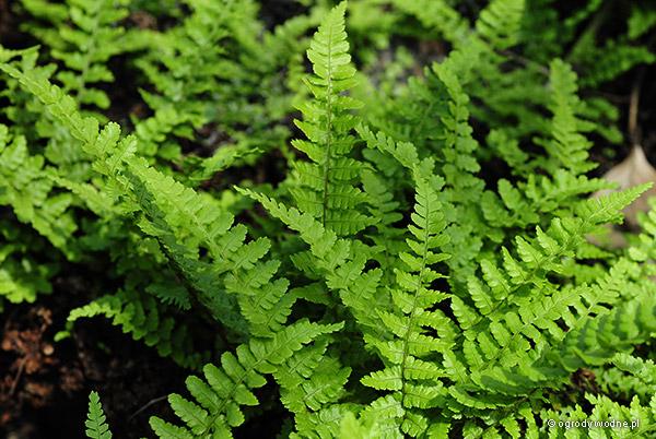 "Dryopteris affinis ""Pinderi"", nerecznica mocna"