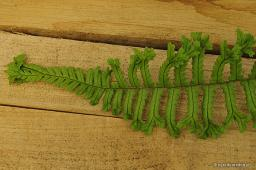 "Dryopteris affinis ""The King"""