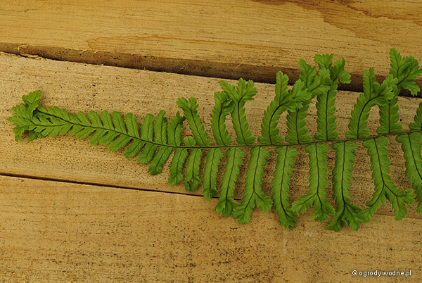 "Dryopteris affinis ""The King"", nerecznica mocna"