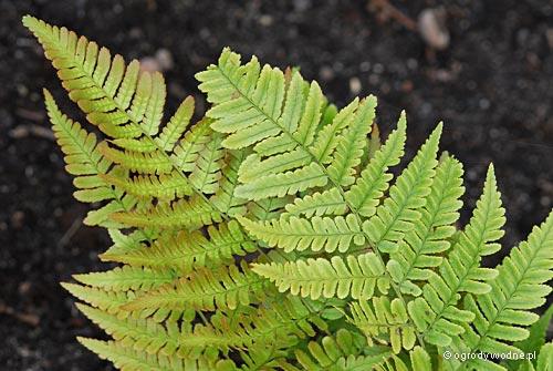 Dryopteris erythrosora, narecznica czerwonozawijkowa