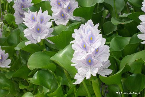 Eichhornia crassipes, hiacynt wodny