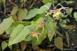 "Epimedium ""Fire Dragon"""
