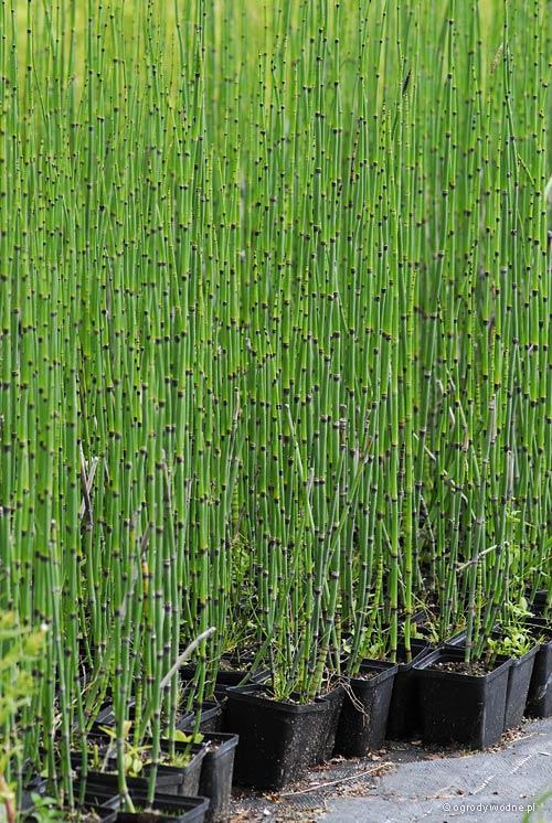 Equisetum hyemale var. camtschaticum, skrzyp zimowy odm. kamczacka
