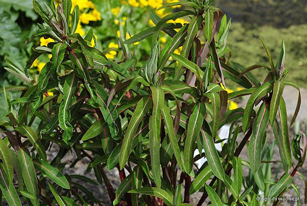 Euphorbia griffithii, wilczomlecz Griffitha