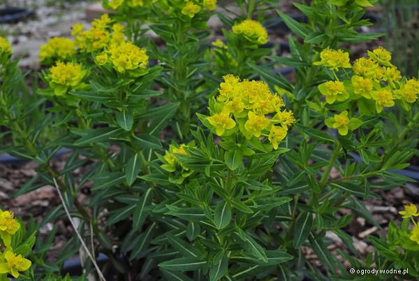Euphorbia palustris, wilczomlecz błotny