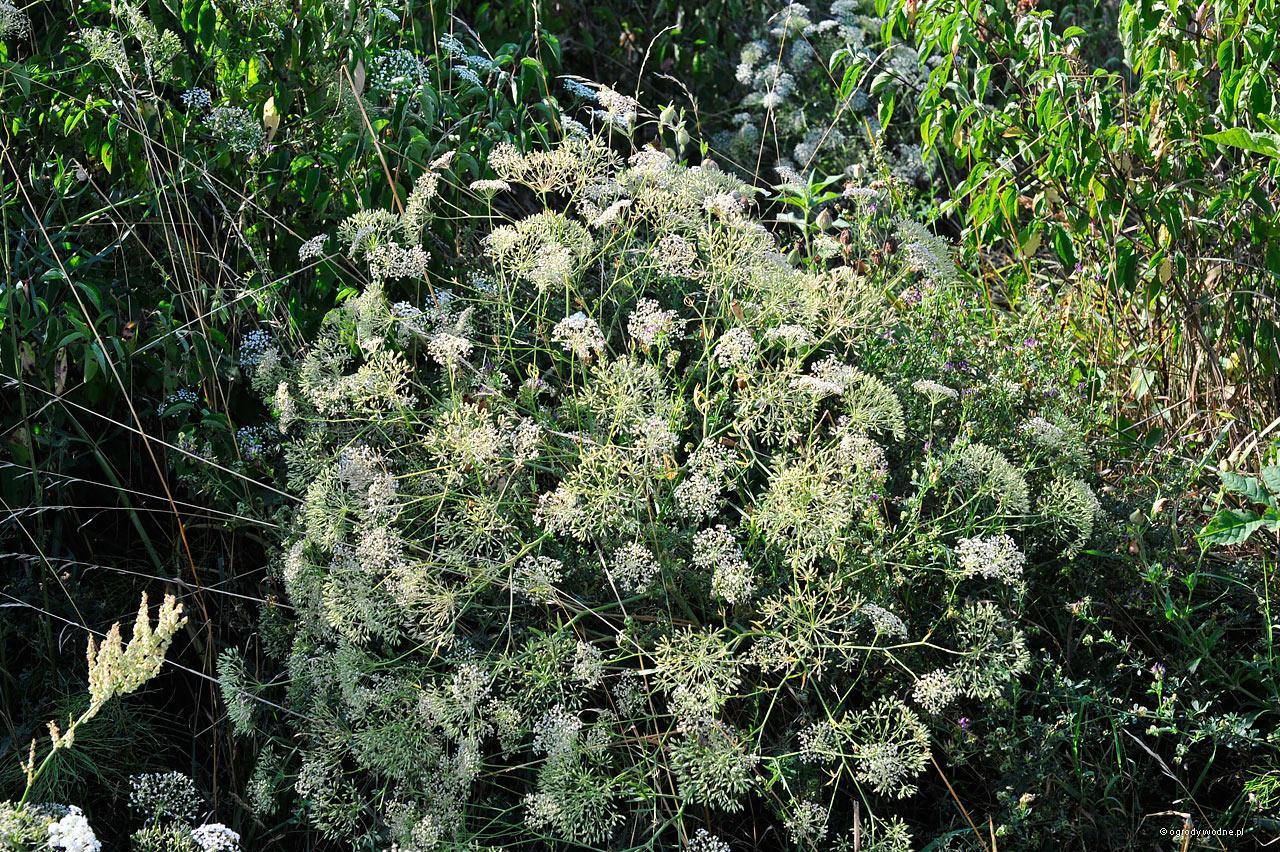 Falcaria vulgaris - sierpnica pospolita